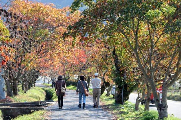 柳坂曽根の櫨並木の紅葉