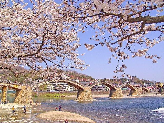 錦帯橋のサクラ