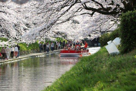 【桜・見頃】松川公園の桜名所写真