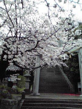【桜・見頃】花岡八幡宮の桜名所写真