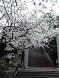 【桜・見頃】花岡八幡宮