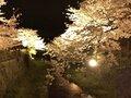 【桜・見頃】一の坂川