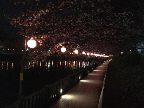 【桜・見頃】酒津公園の桜名所写真