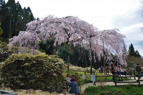 【桜・見頃】田ノ頭郷のしだれ桜(波佐見町)の桜名所写真