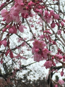 【桜・見頃】名古屋城の桜名所写真