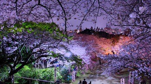 【桜・見頃】西公園の桜名所写真