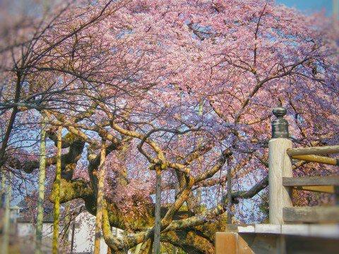 【桜・見頃】般若院のしだれ桜の桜名所写真