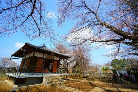 【桜・見頃】石戸蒲ザクラの桜名所写真