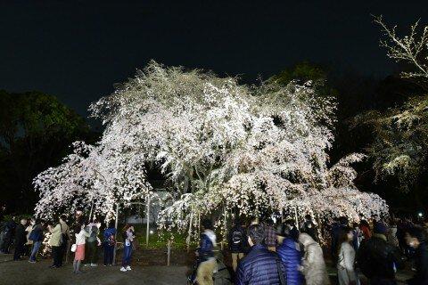 【桜・見頃】六義園の桜名所写真