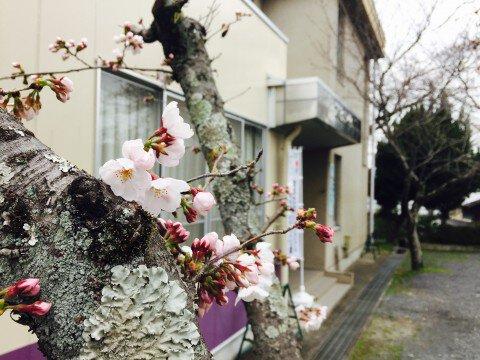 【桜・見頃】石山寺の桜名所写真