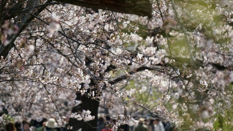 上野恩賜公園の桜 (東京都台東区...