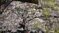 【桜・見頃】上野恩賜公園