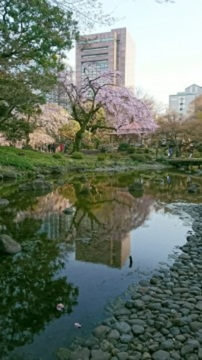 【桜・見頃】小石川後楽園の桜名所写真