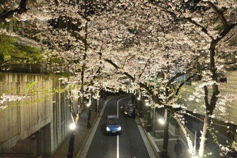 【桜・見頃】アークヒルズの桜名所写真