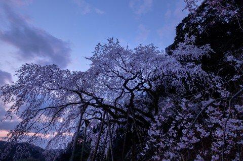 【桜・見頃】奥山田のしだれ桜の桜名所写真