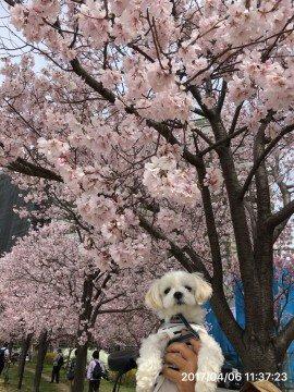 【桜・見頃】狭山池公園の桜名所写真