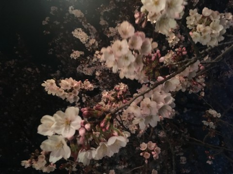 【桜・見頃】北越谷元荒川堤の桜名所写真