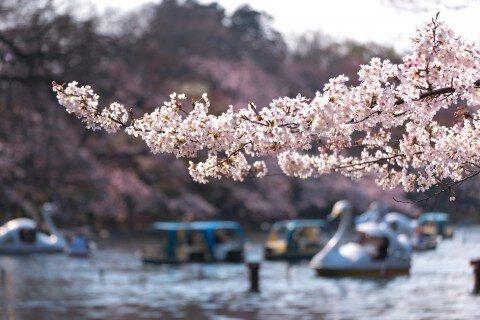 【桜・見頃】井の頭恩賜公園の桜名所写真
