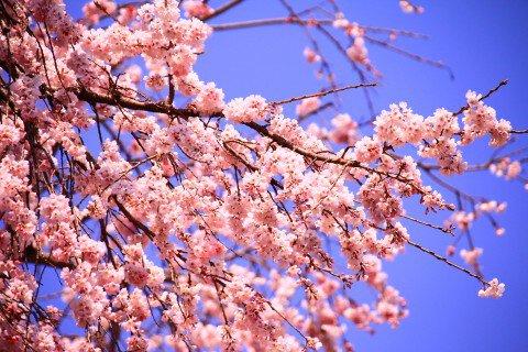 【桜・見頃】宝珠寺のヒメシダレザクラの桜名所写真