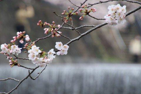 【桜・見頃】夙川河川敷緑地(夙川公園)の桜名所写真