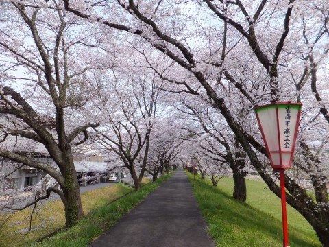 【桜・見頃】斐伊川堤防桜並木の桜名所写真
