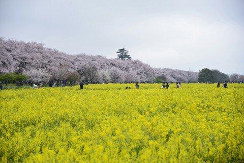 【桜・見頃】幸手権現堂桜堤(県営権現堂公園)の桜名所写真