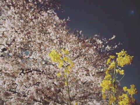 【桜・見頃】熊谷桜堤の桜名所写真