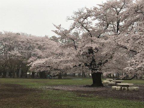 都立光が丘公園の桜 (東京都練馬区)   お花見2018 - ウォーカー ...