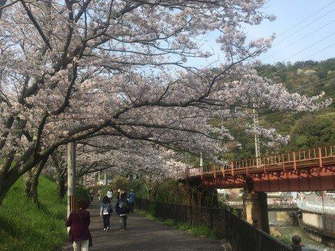 【桜・見頃】山中渓の桜の桜名所写真