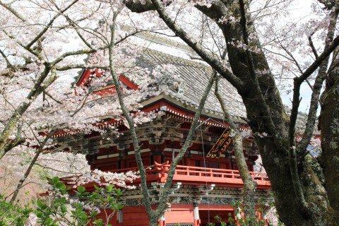 【桜・見頃】雨引観音の桜名所写真