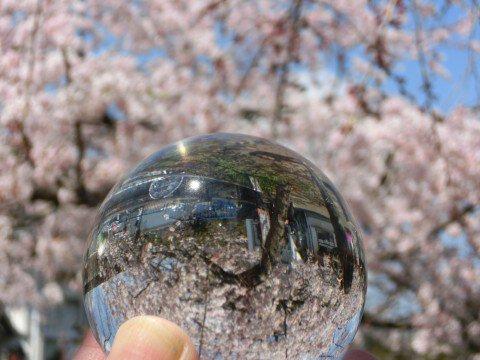 【桜・見頃】千葉公園の桜名所写真