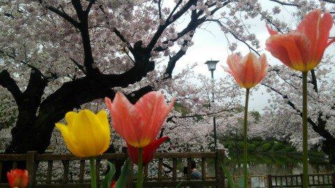【桜・見頃】鶴舞公園の桜名所写真