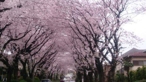 【桜・見頃】綾西緑地の桜名所写真