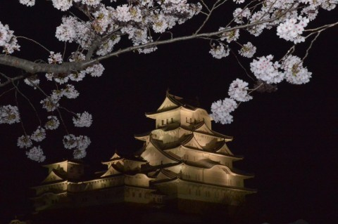 【桜・見頃】姫路城の桜名所写真