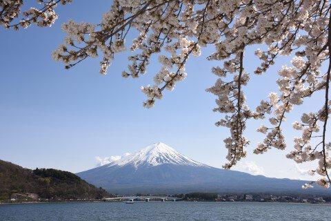 【桜・見頃】河口湖畔(北岸)の桜名所写真