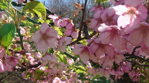 【桜・見頃】桜公園の桜名所写真