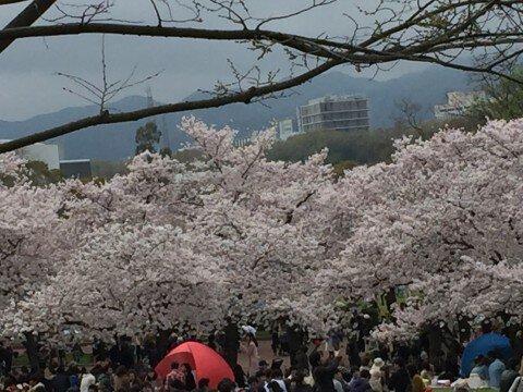 【桜・見頃】万博記念公園の桜名所写真