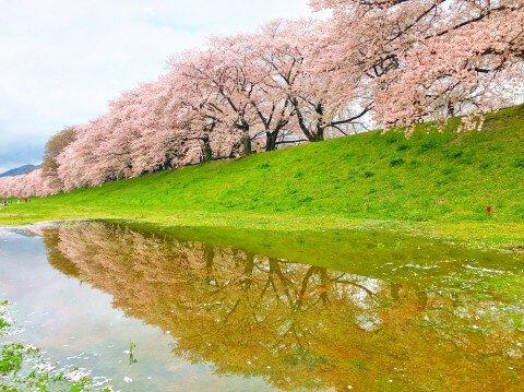 【桜・見頃】淀川河川公園背割堤地区の桜名所写真
