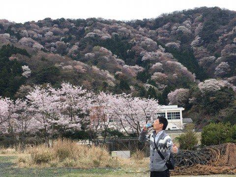 【桜・見頃】神子の山桜の桜名所写真