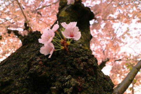 【桜・見頃】大口町 五条川の桜並木の桜名所写真
