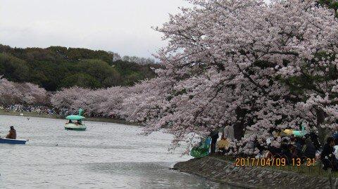 【桜・見頃】明石公園の桜名所写真