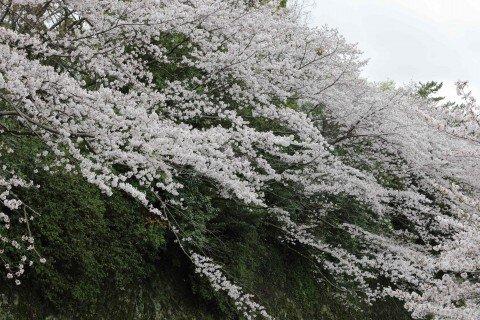 【桜・見頃】駿府城公園の桜名所写真