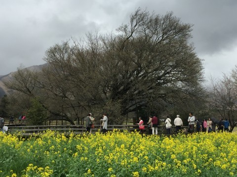 【桜・見頃】一心行の大桜の桜名所写真
