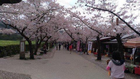 【桜・見頃】秋月杉の馬場通りの桜名所写真