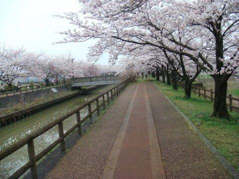 【桜・見頃】桜ネックレスの桜名所写真