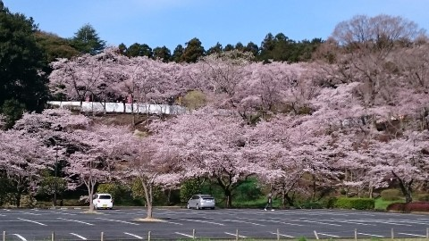 【桜・見頃】桜山公園の桜名所写真
