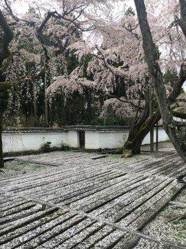 【桜・見頃】醍醐寺の桜名所写真