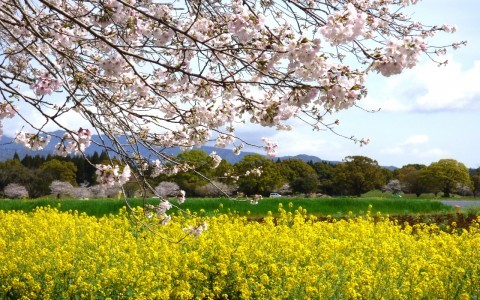 【桜・見頃】西都原古墳群の桜名所写真