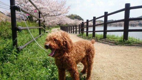 【桜・見頃】立岡自然公園の桜名所写真