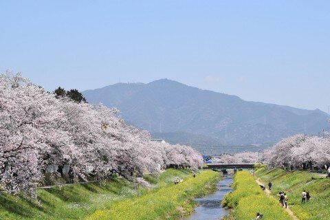 【桜・見頃】佐奈川堤の桜名所写真